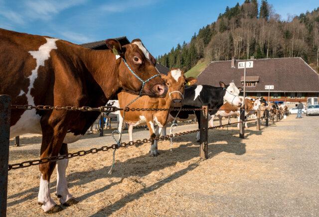 20190402 Trub Dorf Viehschau 0039